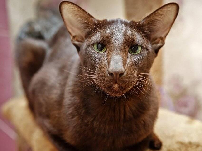 Йоркская шоколадная кошка – пушистая симпатяга из нью-йорка