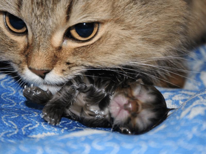Как ведет себя кошка после родов