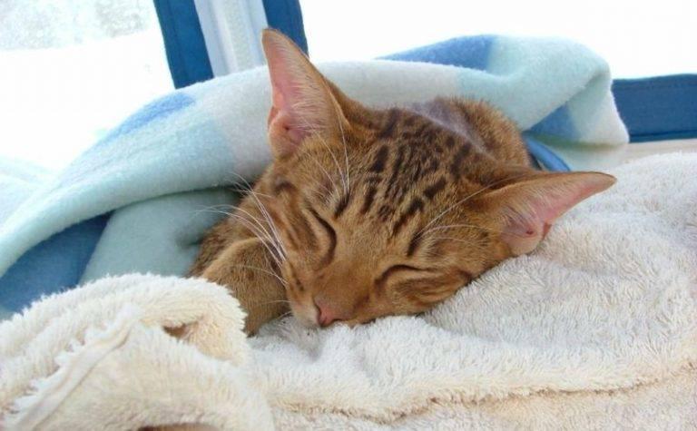 У кота пропал голос: причины и что делать