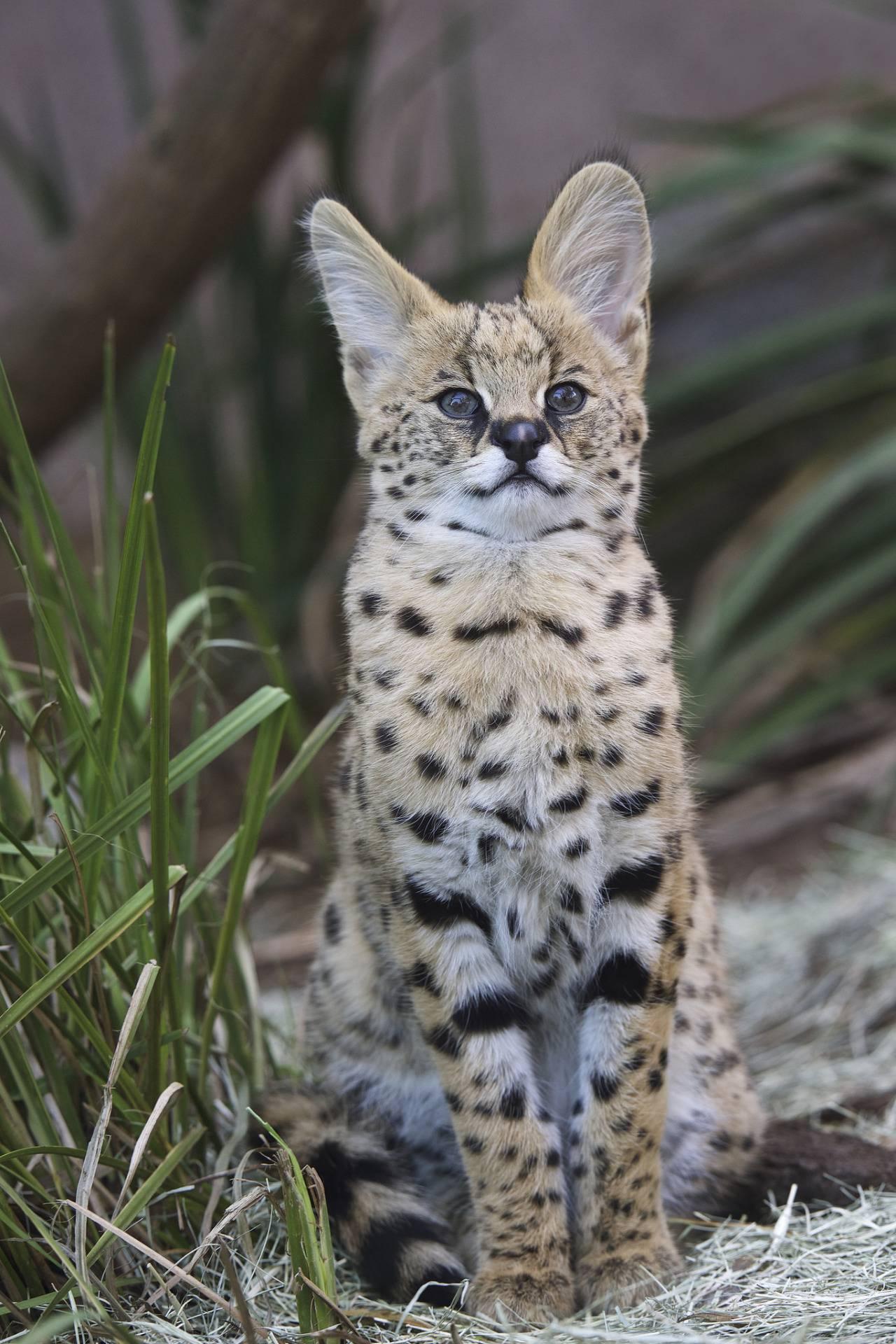 Кошка сервал – особенности породы и отличие ее от других домашних животных
