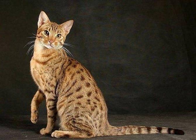 Серенгети: домашняя кошка в облике хищника