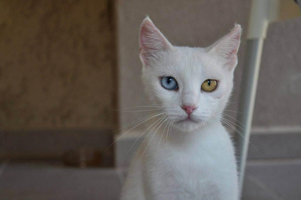 Белый кот (38 фото): названия и описания пород белых домашних кошек, пушистый котенок-альбинос