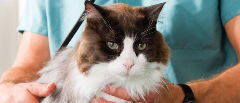 Недержание мочи у кота, причины и лечение: почему она не держится, что делать в домашних условиях?