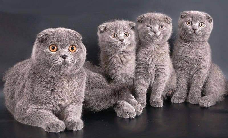 Что нужно знать о вязке шотландских вислоухих кошек