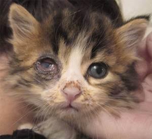 Почему у котенка слезятся глаза и что при этом делать