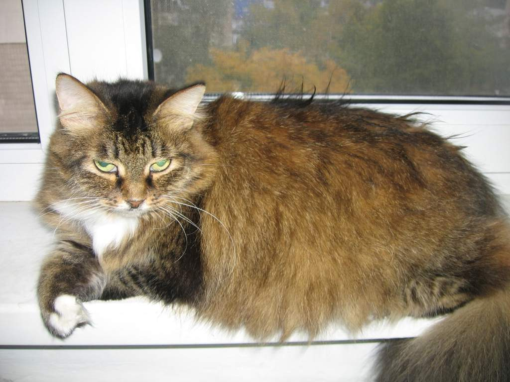 Гипертиреоз  у старых кошек (этиология, диагностика и лечение)