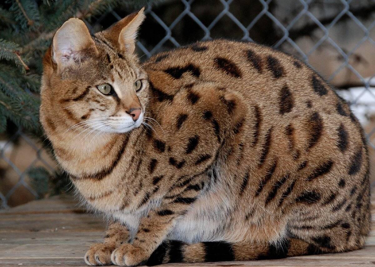 Тойгер кошка: описание породы, внешнего вида и характера, особенности содержания и кормления