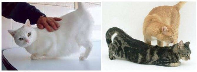 Спаривание кошек и котов: как размножаются, почему орут, сколько длится половой акт?