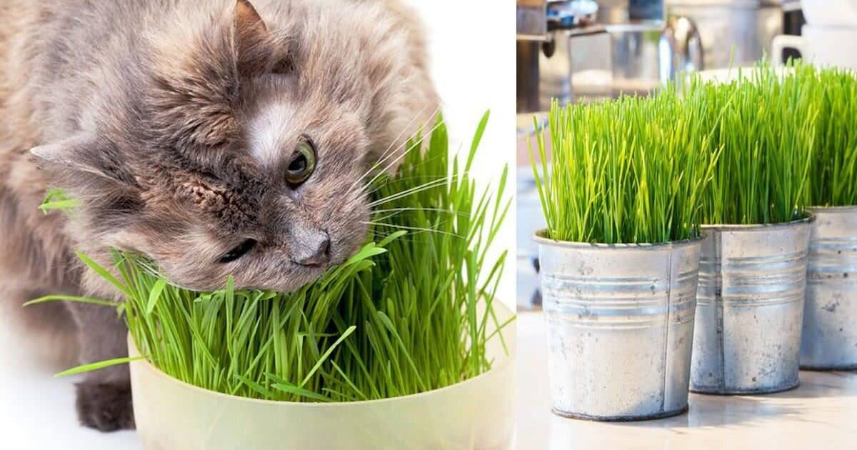 Трава для кошек, какую траву любят кошки, как прорастить, какую посадить