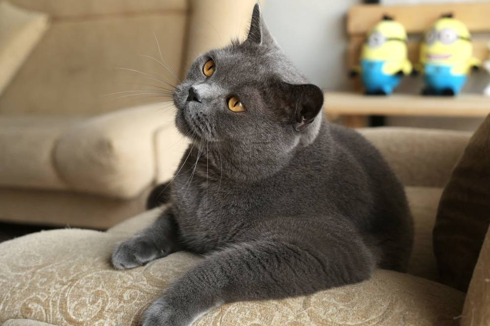 Лучший возраст для кастрации кота: особенности процедуры в разные периоды