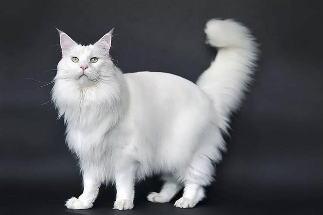 Описание породы кошек мейкун: характеристики и уход, питание
