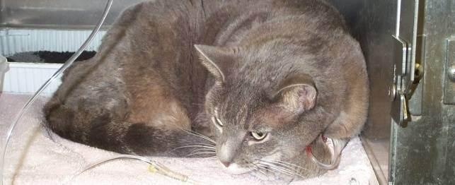 Панкреатит у кошек и котов: симптомы и лечение