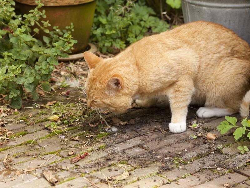 Кошку рвет водой: что делать, причины и лечение