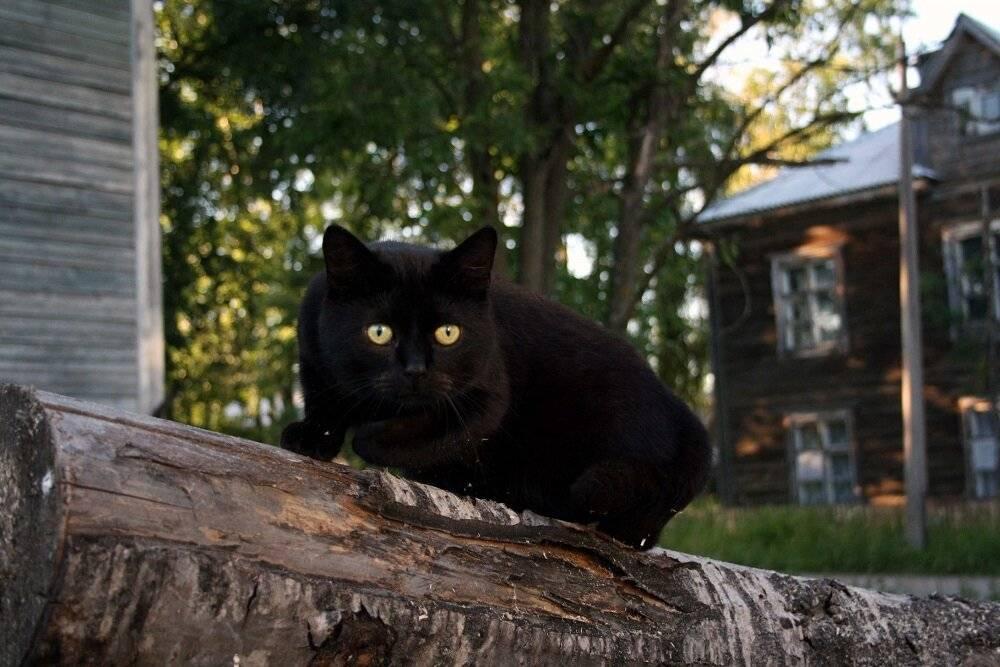 Черный кот (кошка) в доме, перебежала дорогу, сбили: приметы – хорошо или плохо