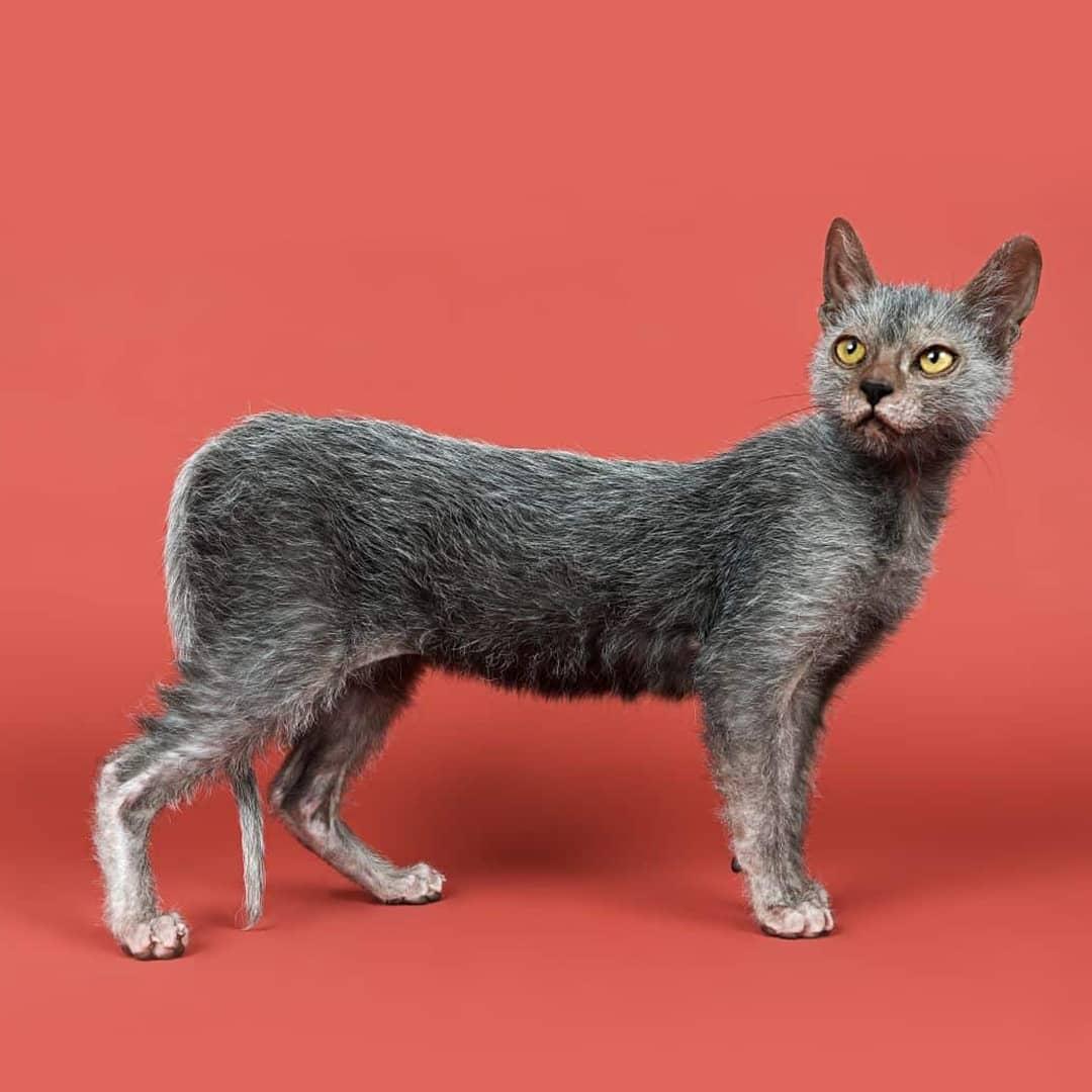 Кошка с обликом рыси
