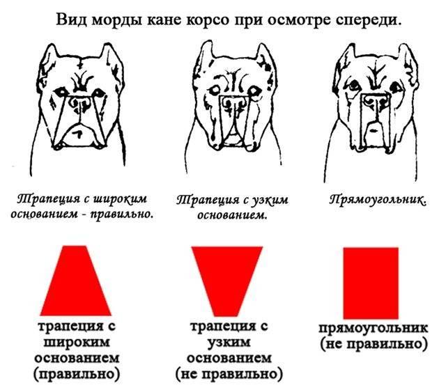 Кане-корсо: характеристика породы