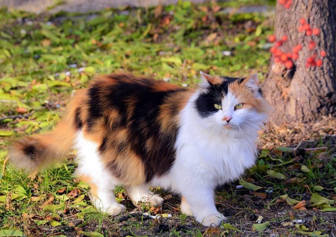 Трехцветная кошка. особенности, приметы и характер трехцветных кошек | животный мир