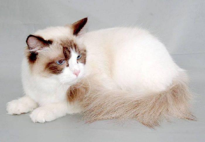Кошки рагамаффин: описание породы, характер, содержание и уход, цена, фото