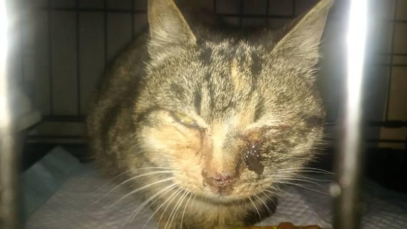 Рак крови у кошек: симптомы в зависимости от локализации, диагностика, лечение, прогноз