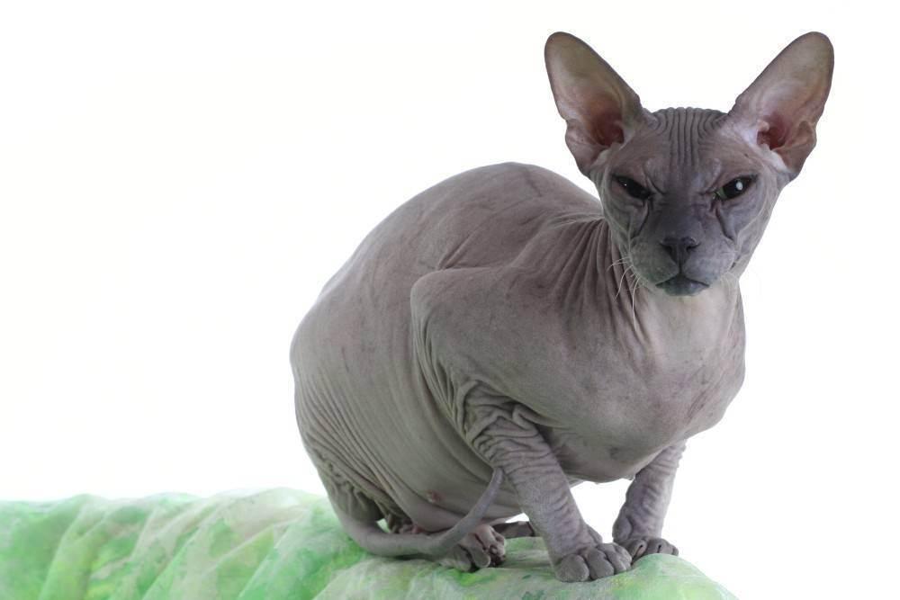 Есть ли аллергия на лысых кошек породы сфинкс и бывает ли пассивная реакция организма аллергика на кошек без шерсти