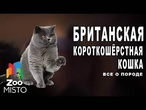 Проблемы с суставами у британских кошек