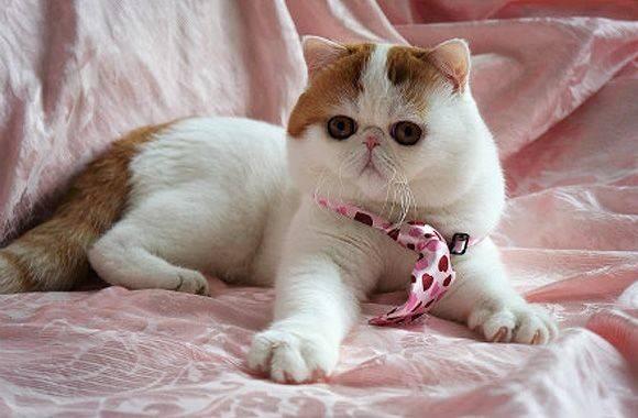 ᐉ экзотическая короткошерстная - описание пород котов - ➡ motildazoo.ru