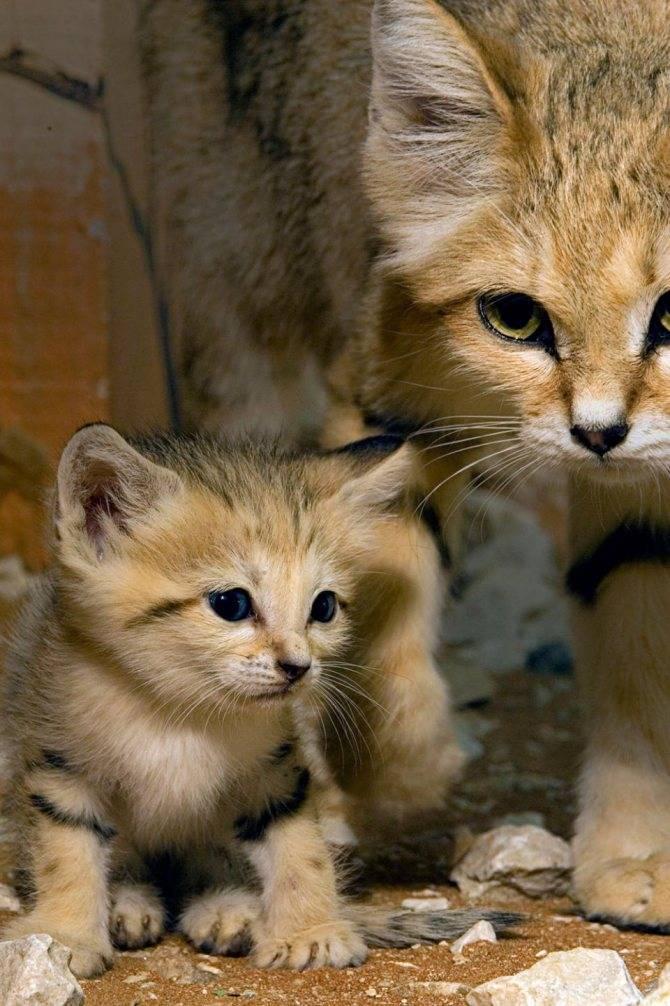 Самые маленькие кошки в мире: названия пород, их описания, фото карликовых котов