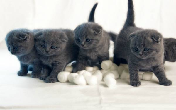 Британские котята - кормление, уход и воспитание | сайт «мурло»