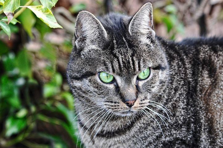 Британский полосатый кот (25 фото): описание кошек и котят серого и других окрасов британской породы. как назвать мальчика и девочку с полосками на шерсти?