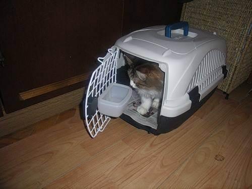 Правила перевозки кошек в 2020 году