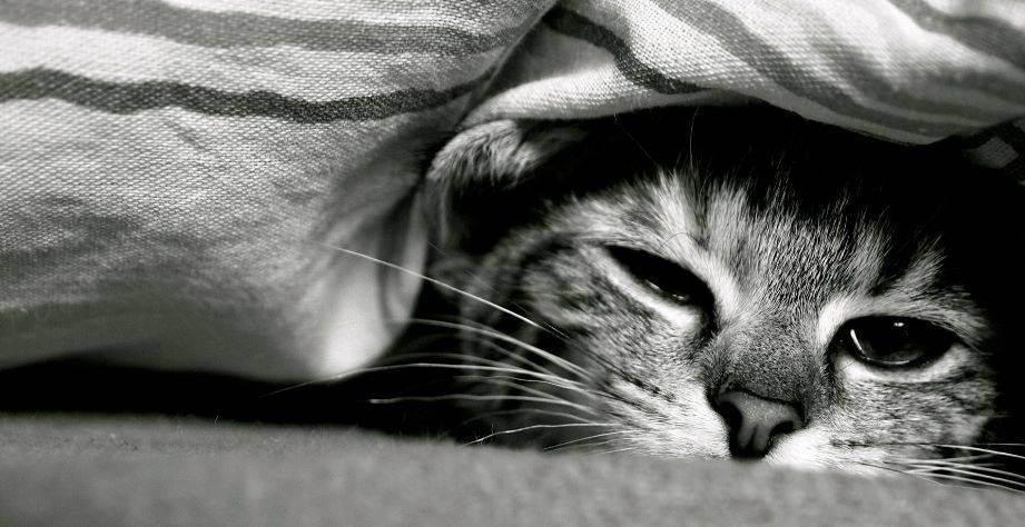 Симптомы и лечение панлейкопении (чумки) у кошек
