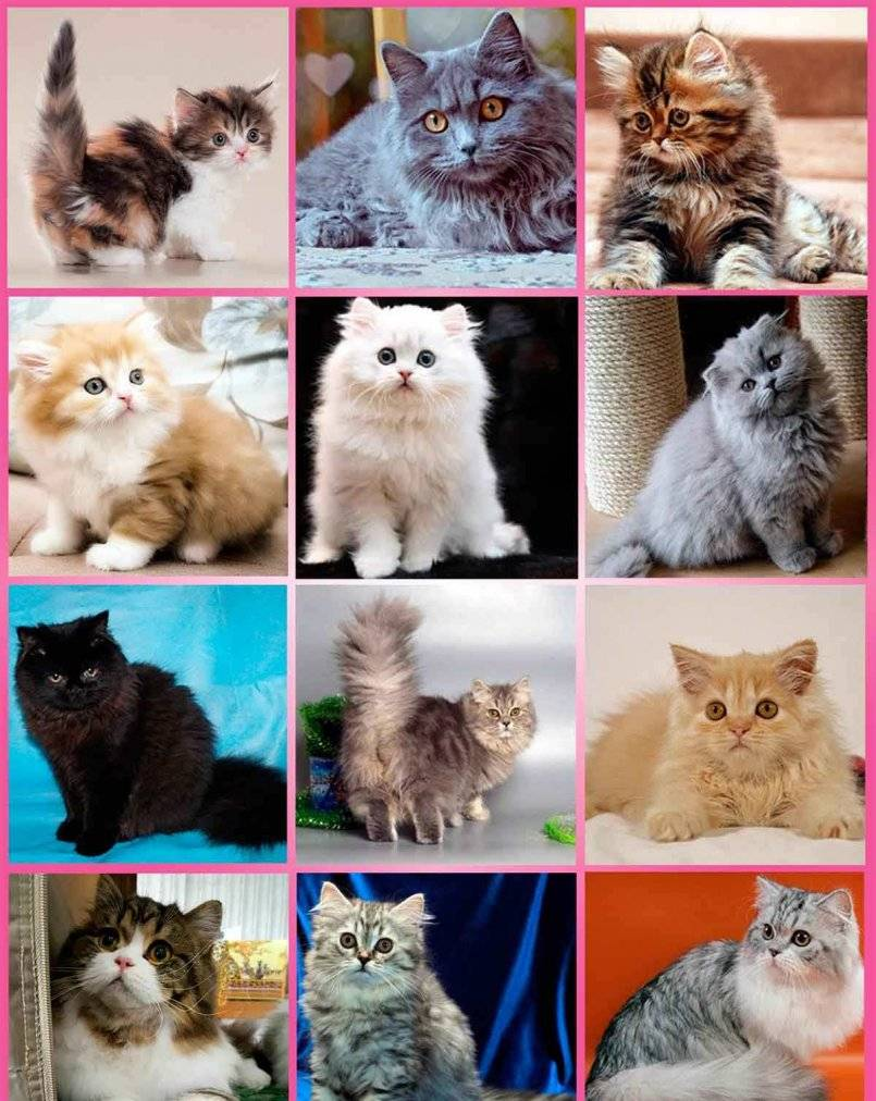 Редкие породы кошек: топ 10 [фото + список пород]