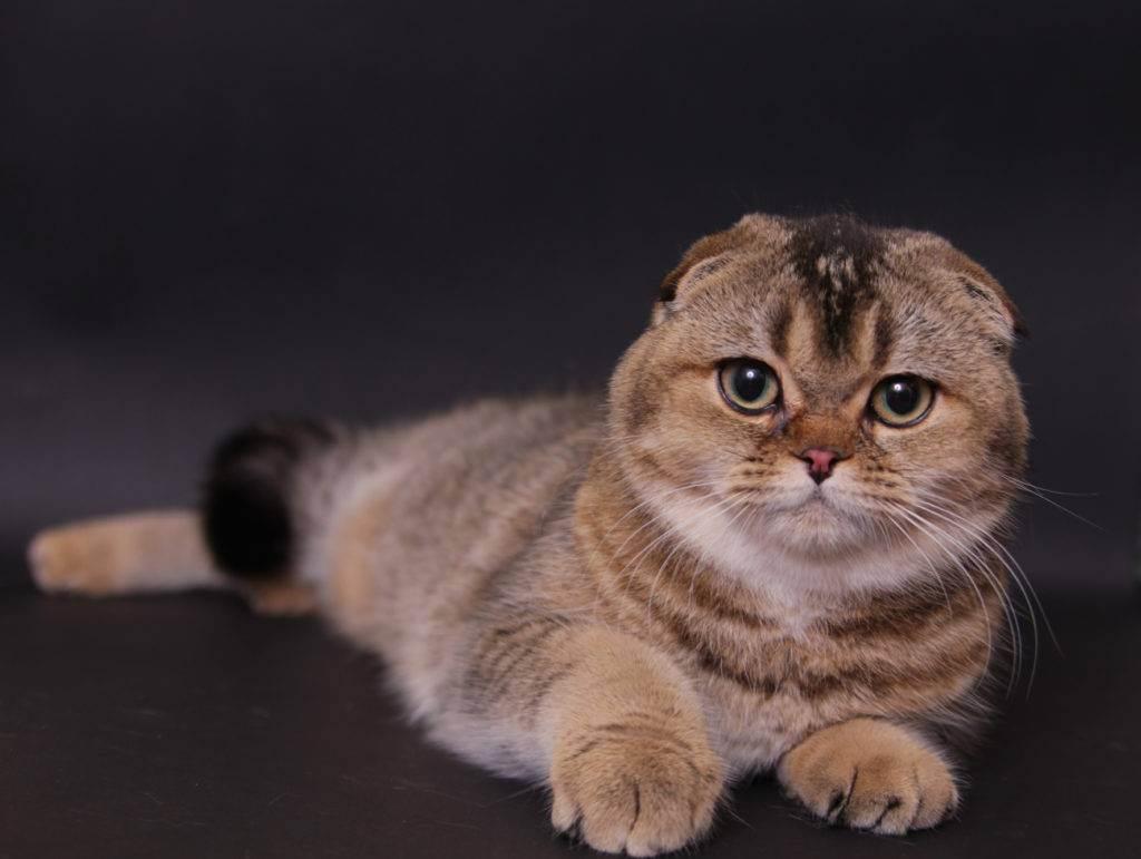 Шотландская вислоухая кошка: скоттиш фолд