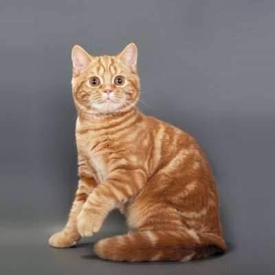 Чем кормить шотландскую прямоухую кошку? корм для шотландских прямоухих котят в 2 месяца, особенности смешанного питания. как правильно кормить беременных кошек и кастрированных котов?