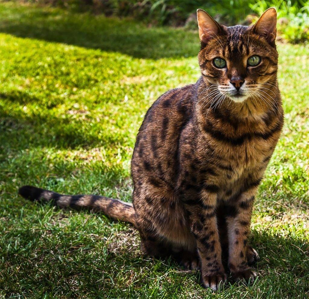 Как правильно выбрать бенгальского котенка: основные нюансы, о которых должен знать будущий хозяин