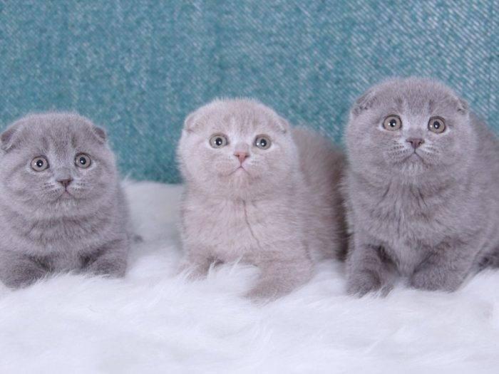 Как правильно ухаживать за шотландским котенком