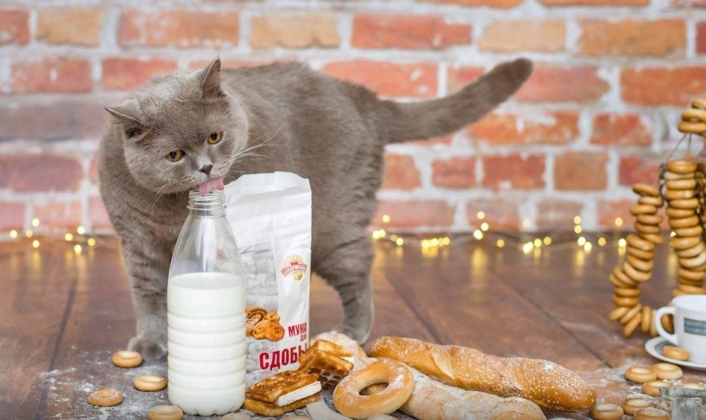 Какой корм подходит для кошек британской породы?