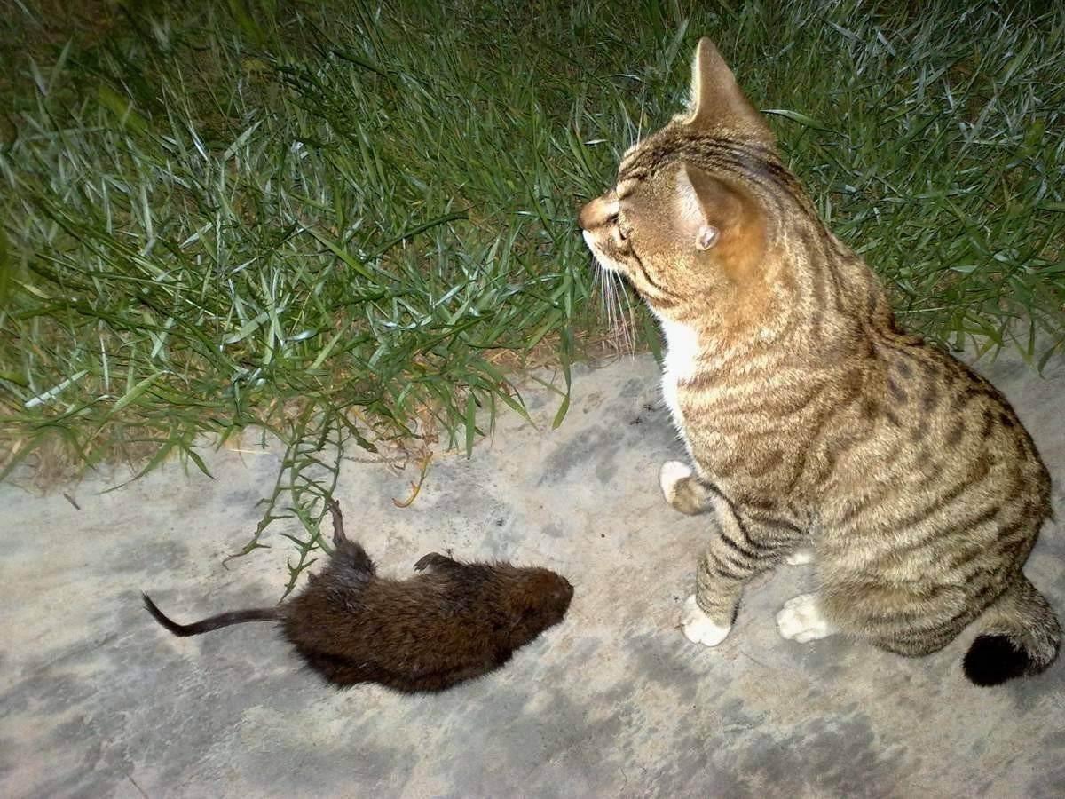 Какая порода кошек лучше всех ловит мышей едят ли коты крыс
