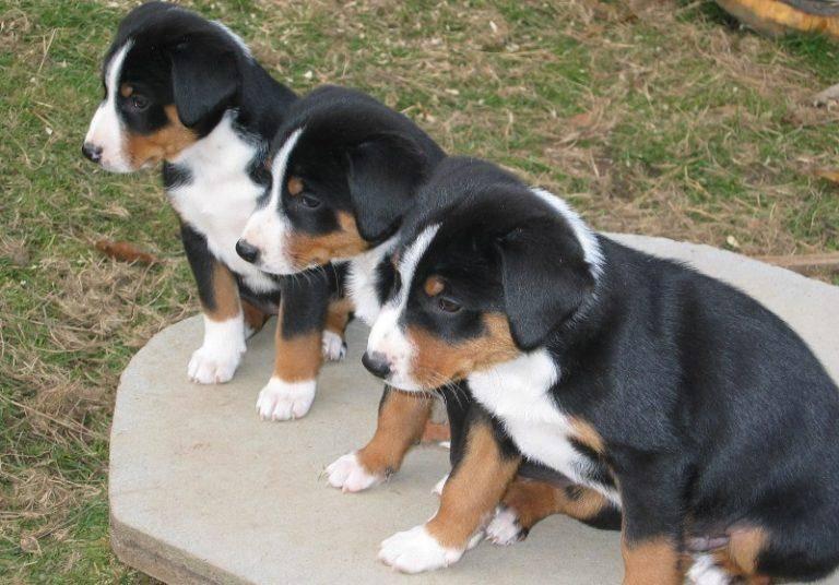 Большой швейцарский зенненхунд: подробное описание собаки. 110 фото и видео советы владельцев
