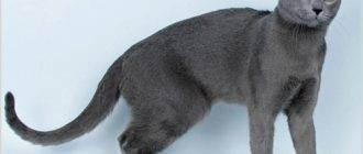 Почему у кошки грязные уши и как их правильно чистить?