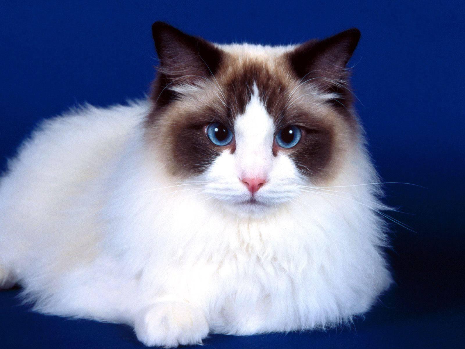 Рэгдолл (фото): порода добродушных кошачьих гигантов из америки - kot-pes
