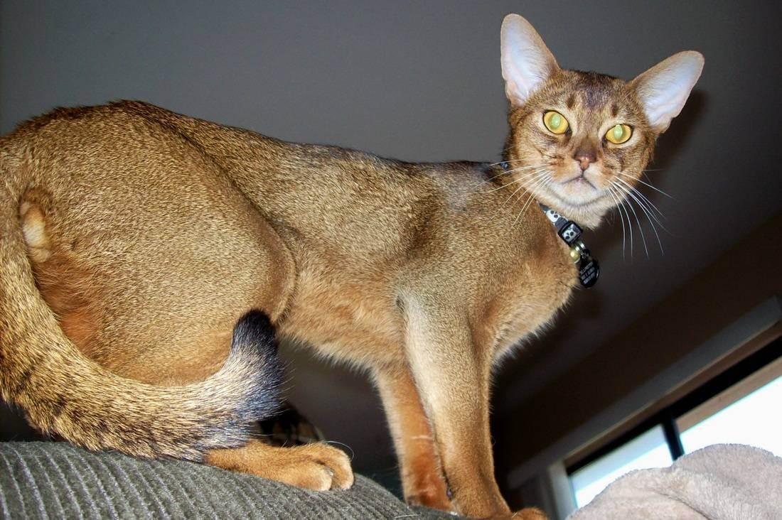 Окрасы абиссинских кошек (27 фото): как выглядит кот дикий окрас? особенности расцветки фавн. как выбрать котят черного, серого, рыжего и белого цвета?