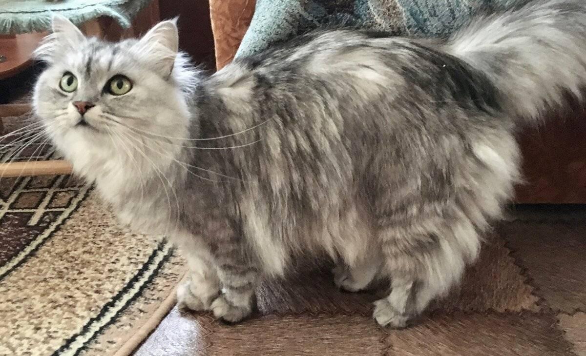 У кота лысеет хвост у основания и болячки черные точки на задние лапы причины и как лечить если как будто жиром обмазан