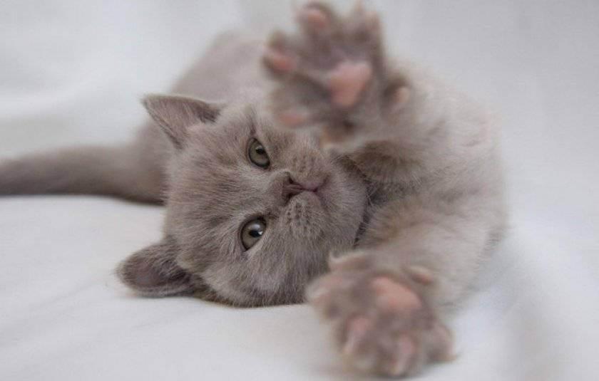 Как правильно играть с котенком - питомник британских кошек arletta british