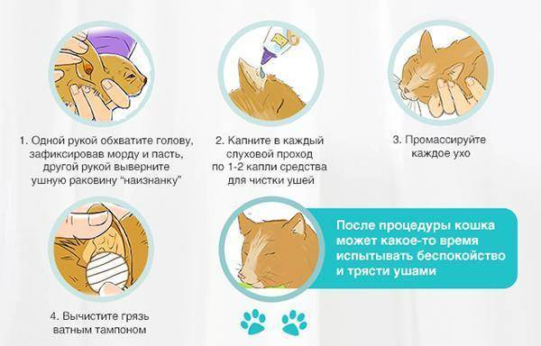 Как почистить уши котенку в домашних условиях: правила проведения процедуры, применяемые средства