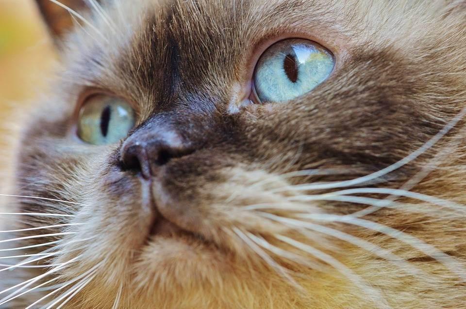 У котенка гноятся глаза: чем лечить и что делать, причины и симптому различных заболеваний