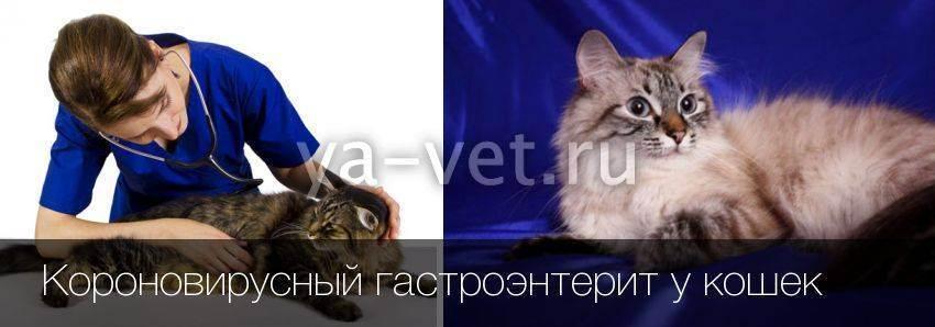 Гкмп у кошек: симптомы, лечение