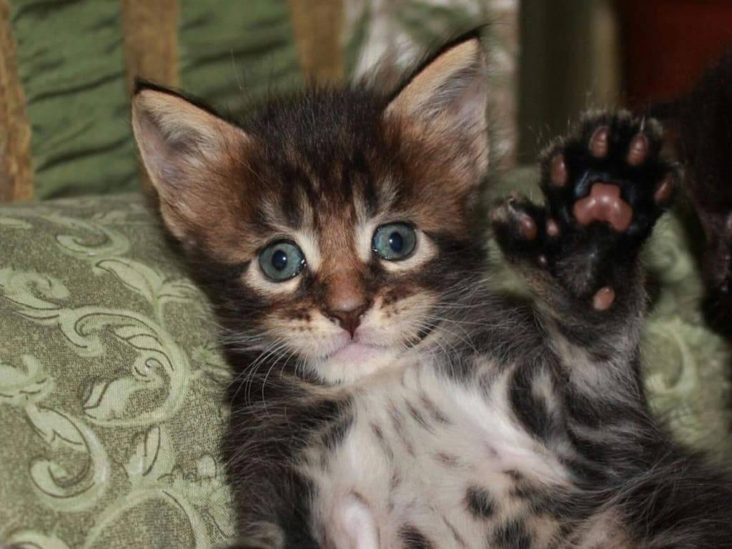 Мейн-кун полидакт: преимущества и недостатки, распространение и поклонники необычных кошек