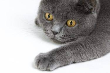 Сколько лет живут британские вислоухие кошки