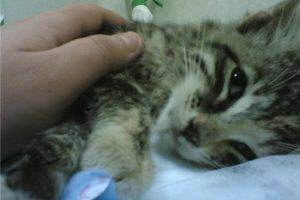 Чумка у кошек - симптомы и лечение. первые признаки чумки у кошек